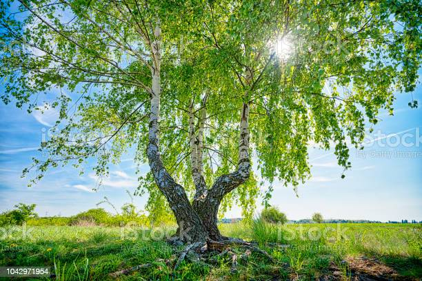Photo of HDR shot of a birch tree with the sun behind