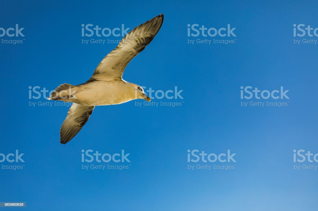 Shot of a flying seagull over blue ocean - Royalty-free Above Stock Photo