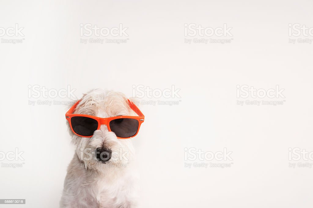 Shot of a Jack Russell Terrier dog with wayfarers glasses stock photo