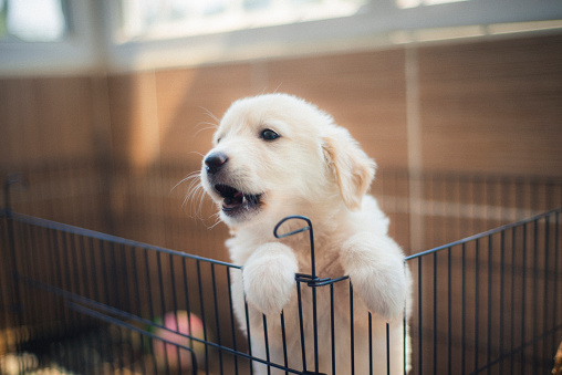 Shot of a white colored Golden Retriever puppy in a cage for potty training. Horizontal shot.