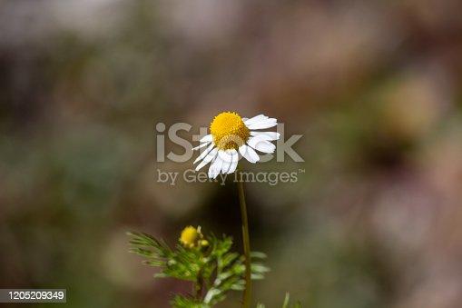 Shot of a wild flower blloming in the wilderness of mukteshwar area.