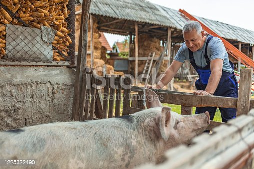 Mature man standing in pigpen taking care of pigs domestic animals. Farmer carefully raises his pigs in a biological way