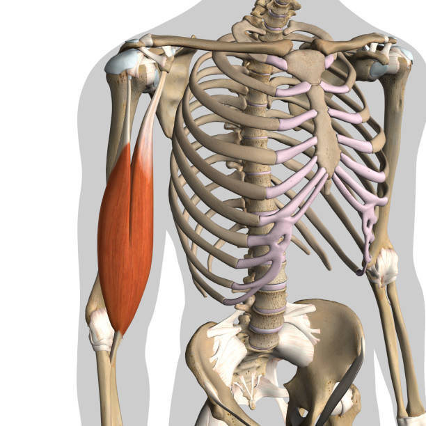 shoulder connective tissue and bicep muscles isolated in skeleton on white - medical diagrams stock pictures, royalty-free photos & images
