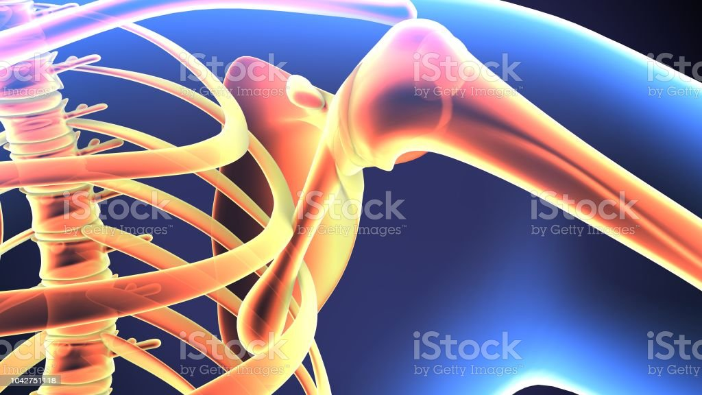 The shoulder joint is structurally classified as a synovial ball and...