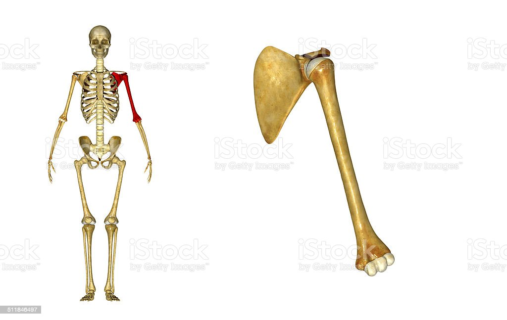 Shoulder Joint Stock Photo More Pictures Of Acromion Istock