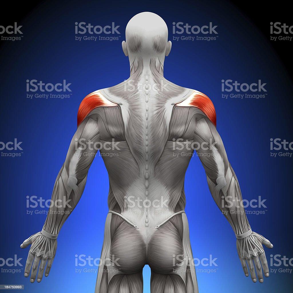 Hombros De Anatomía Los Músculos - Fotografía de stock y más ...