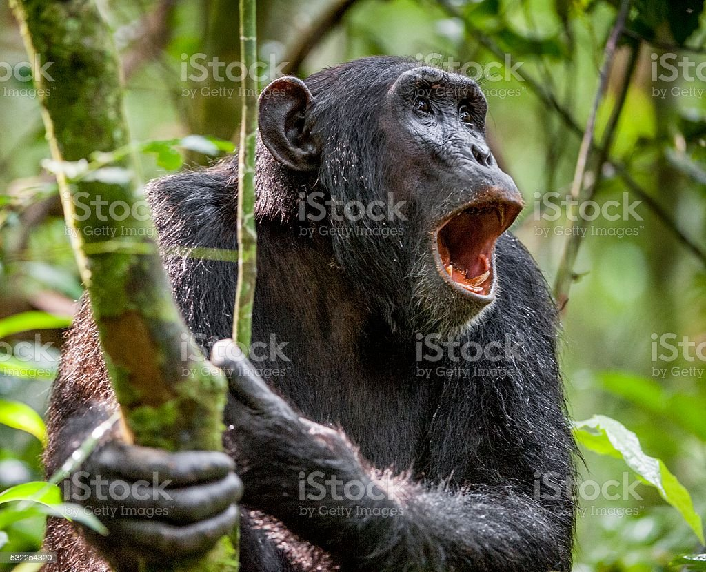 Shouting a Angry Chimpanzee. stock photo