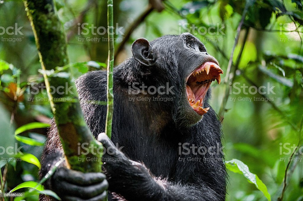 Shouting Angry Chimpanzee. stock photo