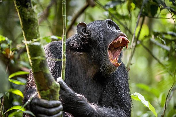 Shouting Angry Chimpanzee. stock photo