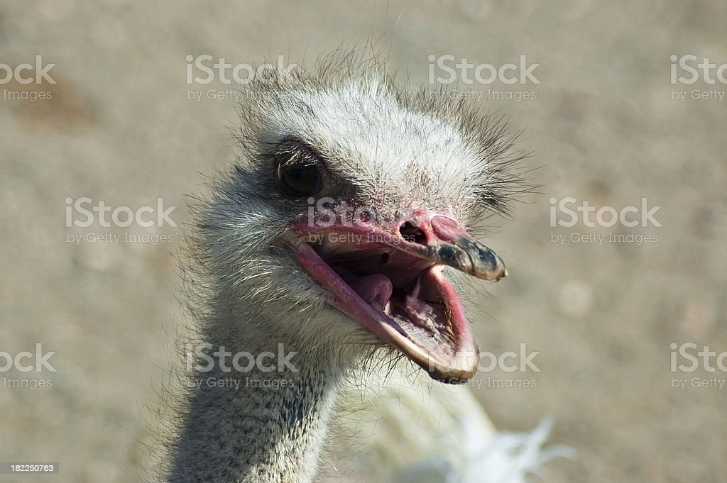 Shouting ostrich royalty-free stock photo