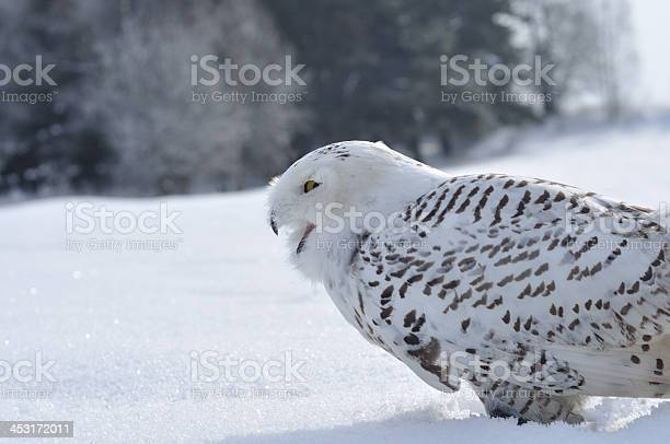 Shouting snowy owl picture id453172011?b=1&k=6&m=453172011&s=612x612&h=x4 e8xbjd 90l7vlamkqmjbfzbxqit5bve wvzl96xs=