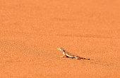 a lizard runs on the sand in the Namib Desert near Walvis Bay, Namibia