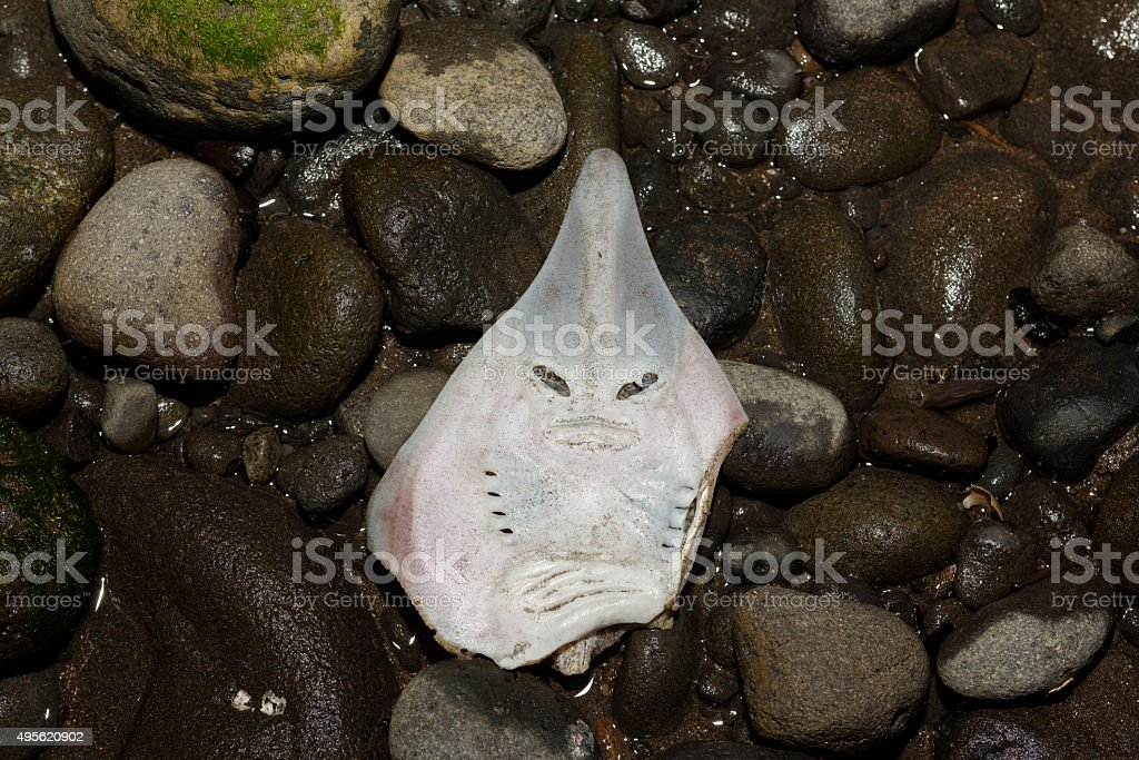 Shovelnose head upside down stock photo