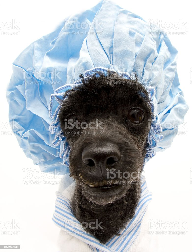 Shower Cap Pooch from Fisheye Angle stock photo