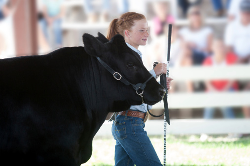 Child showing a beef steer at a 4-H show during the County Fair.