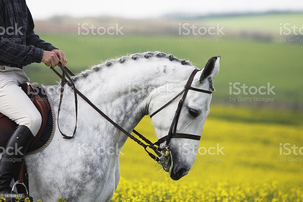 Show-jumping horse portrait in canola stock photo