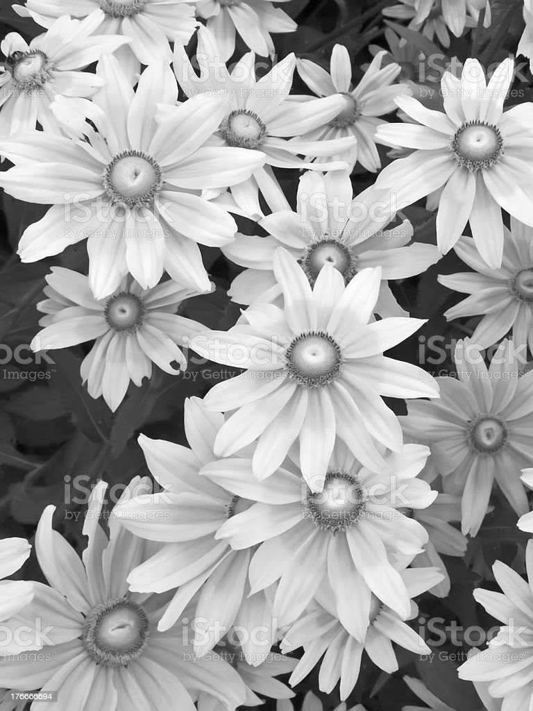 Showy summer flowers in black and white royalty-free stock photo