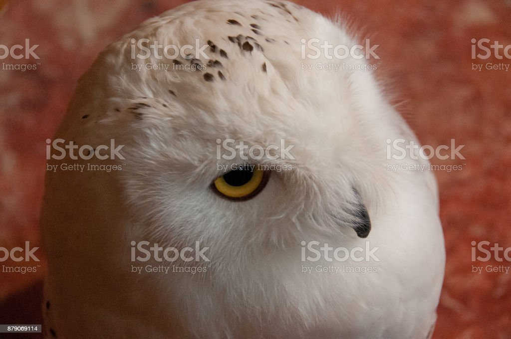 Showy white scandiaca Syberian owl stock photo