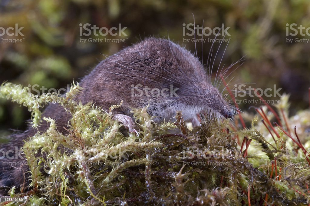 Shrew in amongst the moss royalty-free stock photo