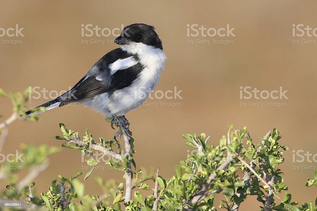 Shrike Bird royalty-free stock photo