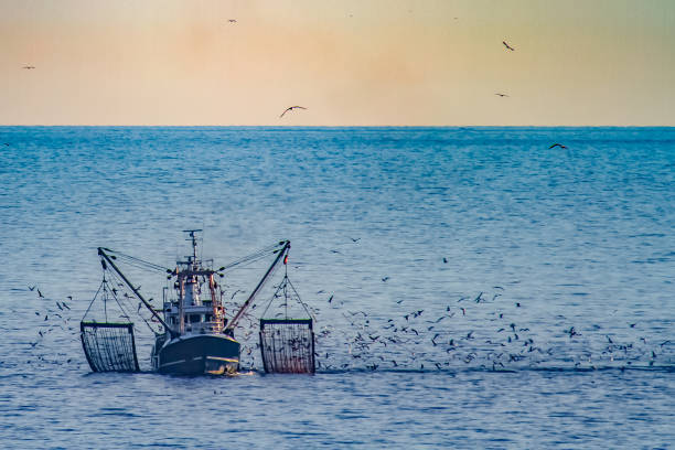 A shrimp cutter with lifted fishnets and a flock of seagulls in the evening sun
