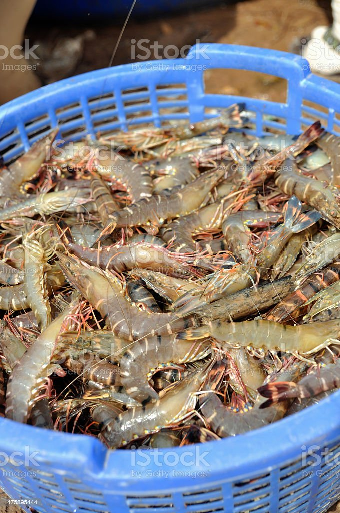 Shrimp harvest stock photo