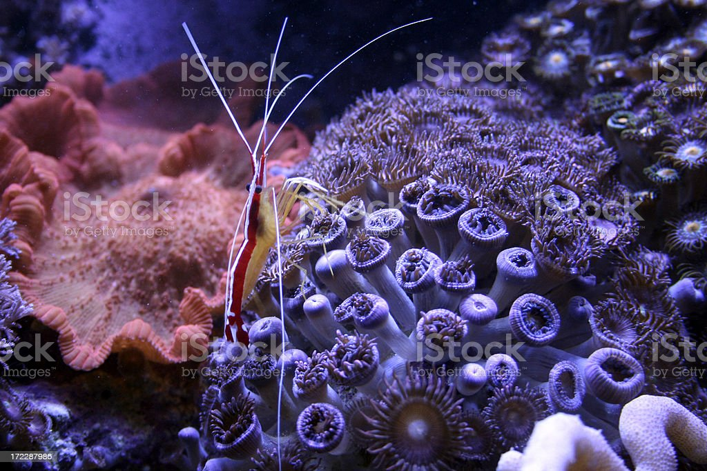 Shrimp travels across coral stock photo