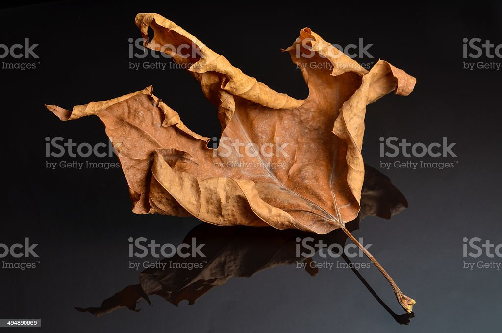 shrivel up autumn leaf on black glass with reflection stock photo
