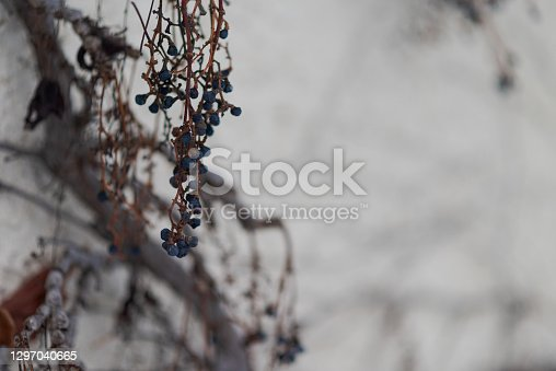 Shriveled wine grapes hanging on white house wall in winter as food for wild birds