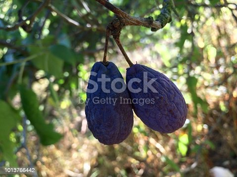 Shrivelled plums