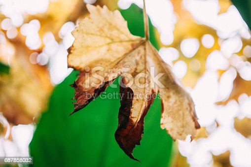 A close-up of a shrivelling leaf on a grapevine against a backdrop of a green Canna Lily leaf.