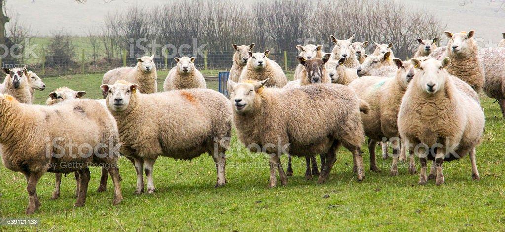 Shropshire sheep stock photo