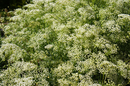 Shrub of pimpinella anisum or aniseed white meadow flowers