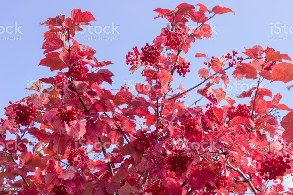 Shrub of viburnum with autumn leaves and berries foto stock royalty-free