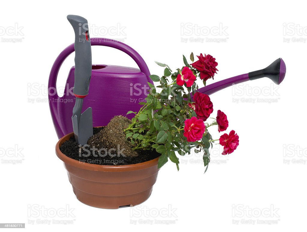 shrub roses and garden tools stock photo
