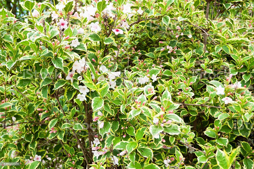 Shrub con flor foto de stock libre de derechos