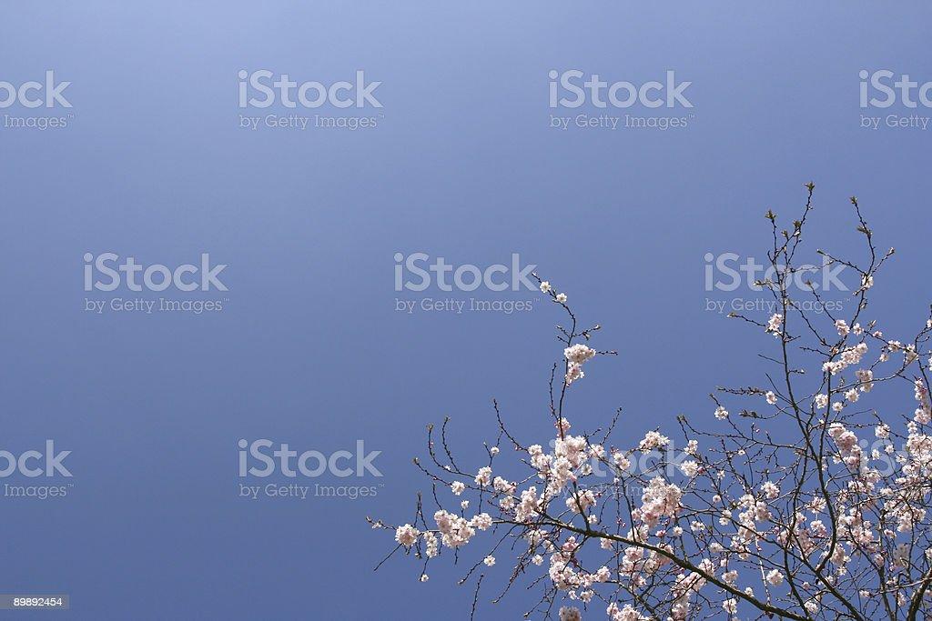 Shrub con rosa flores foto de stock libre de derechos