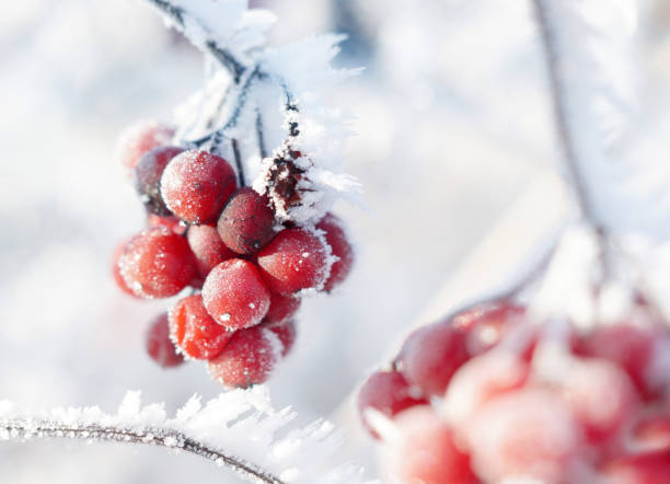 Shrub with red berries stock photo