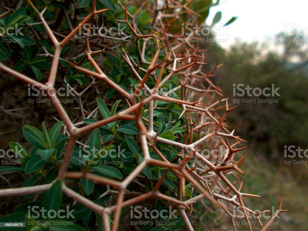 Shrub with thorns royalty-free stock photo