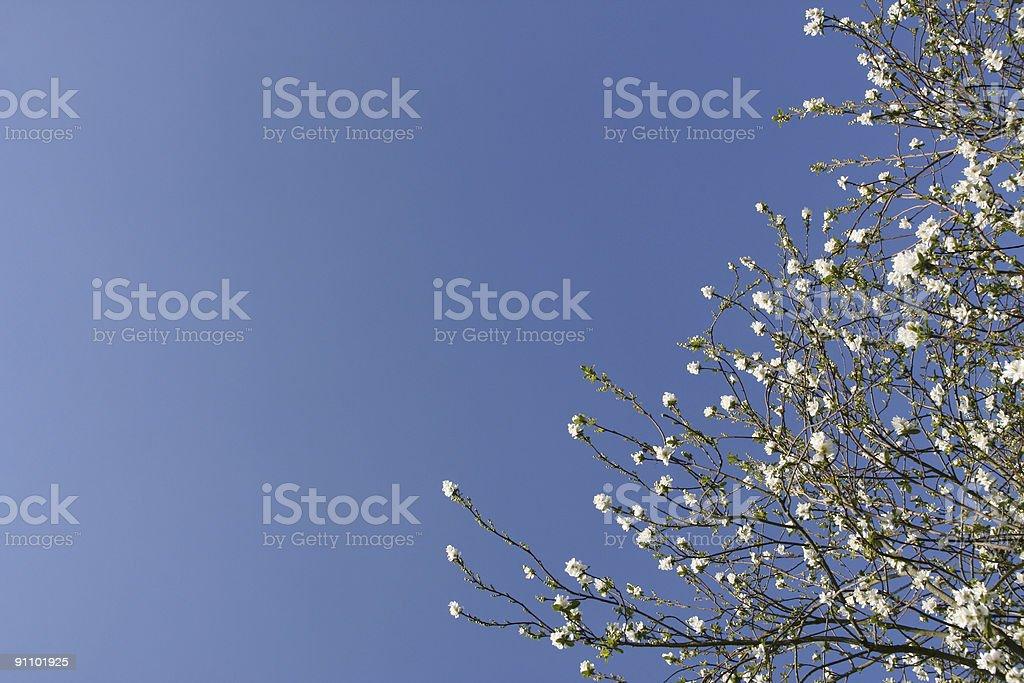 Shrub with white flowers royalty-free stock photo