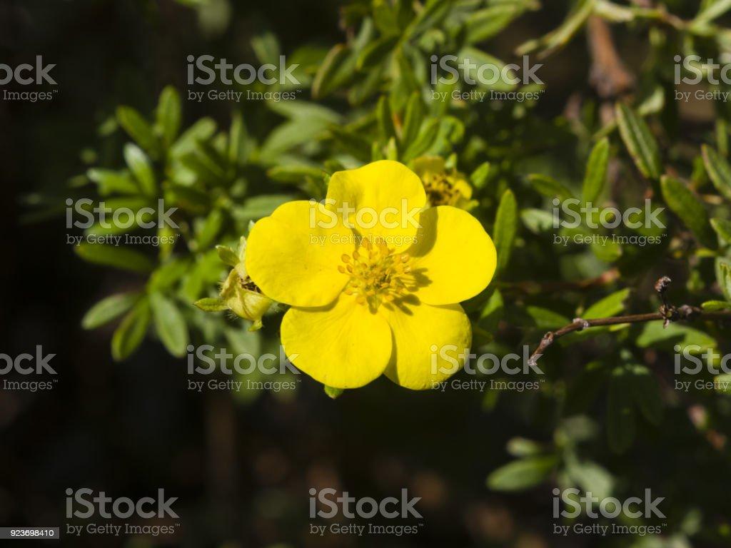 Shrubby Cinquefoil Tundra Rose Golden Hardhack Dasiphora Fruticosa