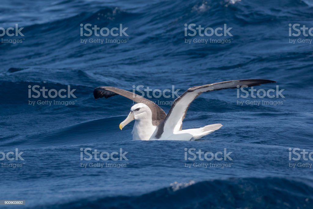 Shy Albatross on the sea stock photo