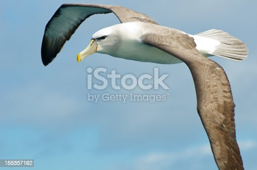 A shy albatross flying over the pacific ocean off the coast of Tasmania.