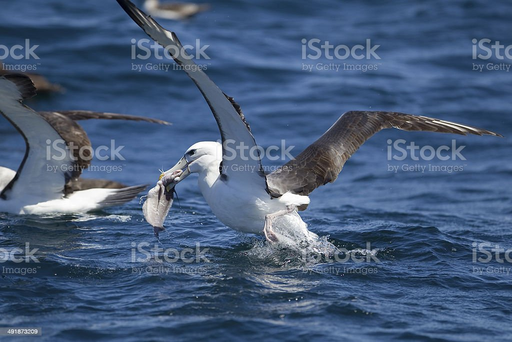 Shy Albatross stock photo