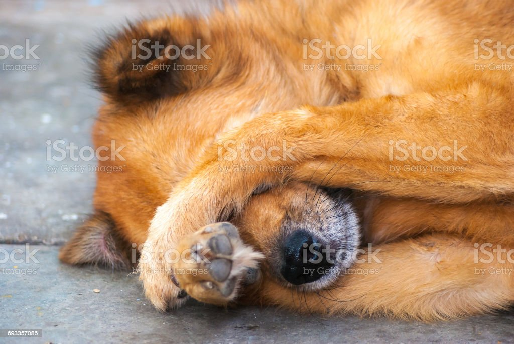 shy dog it use two hand for shrink stock photo