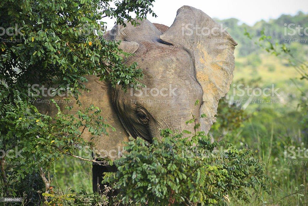 Tímido elephant foto de stock libre de derechos