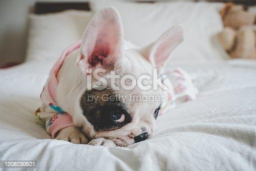 Shy Frenchie pupp in pyjamas