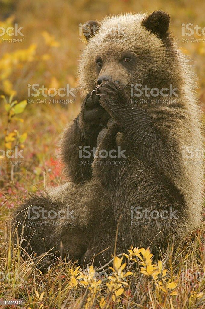 shy grizzly bear cub stock photo