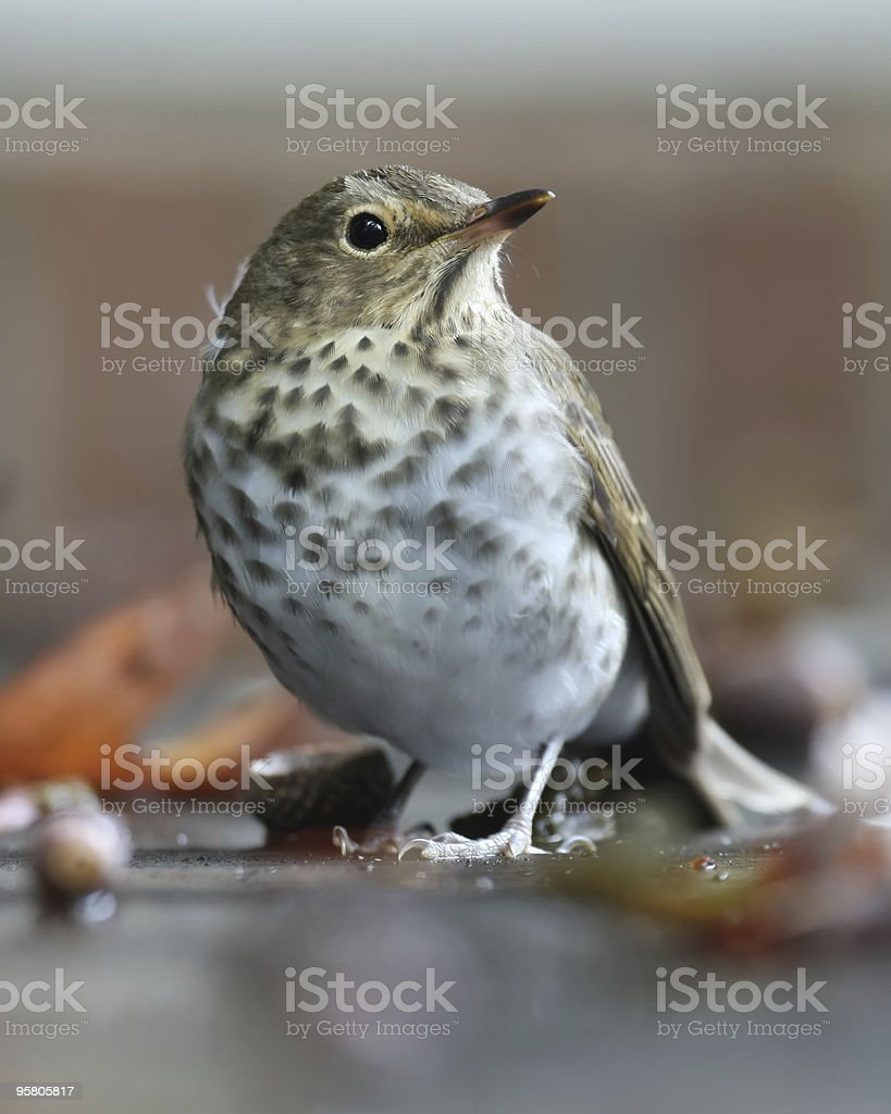 Shy Hermit Thrush stock photo