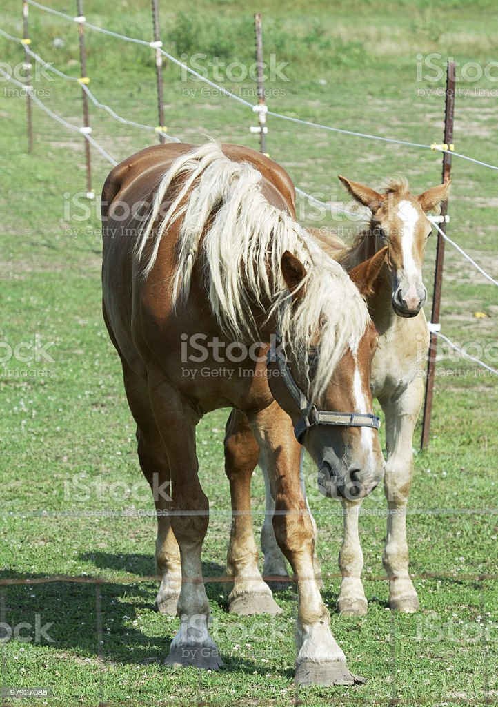 Shy Mare and Colt royalty-free stock photo